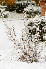 Rosemary bush in winter