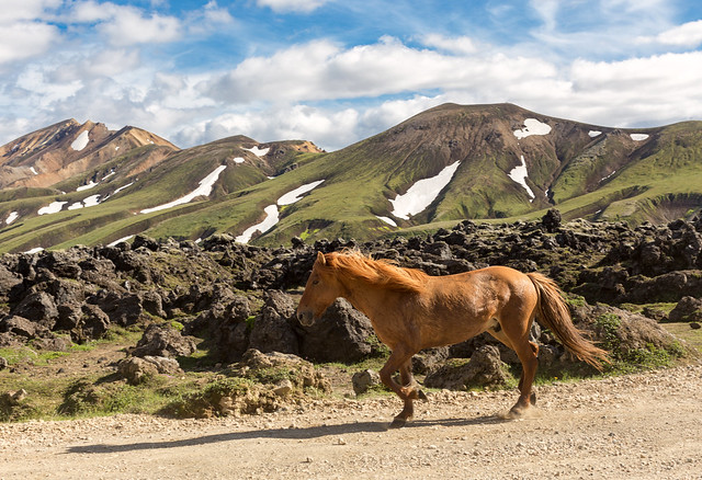 Iceland - the Horse Power in Landmannalaugar