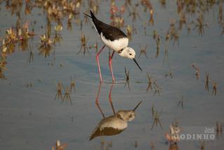 Himantopus himantopus, Pernilongo, Black-winged Stilt, Cigüeñuela de Alas Negras