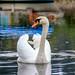 Cisne en Betanzos. by PanisA.