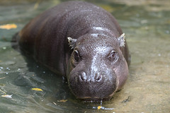 Pygmy Hippo Sitting in Water