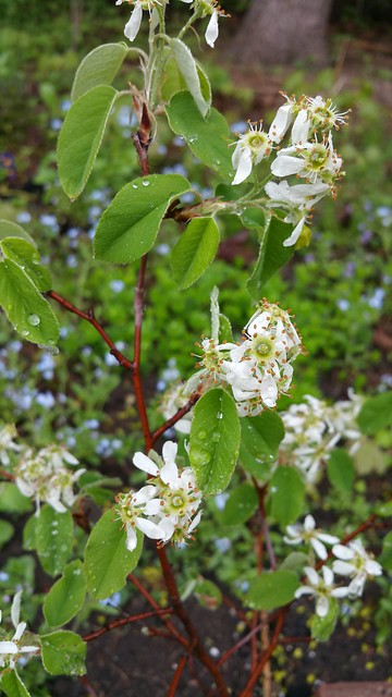 Header of Amelanchier Alnifolia