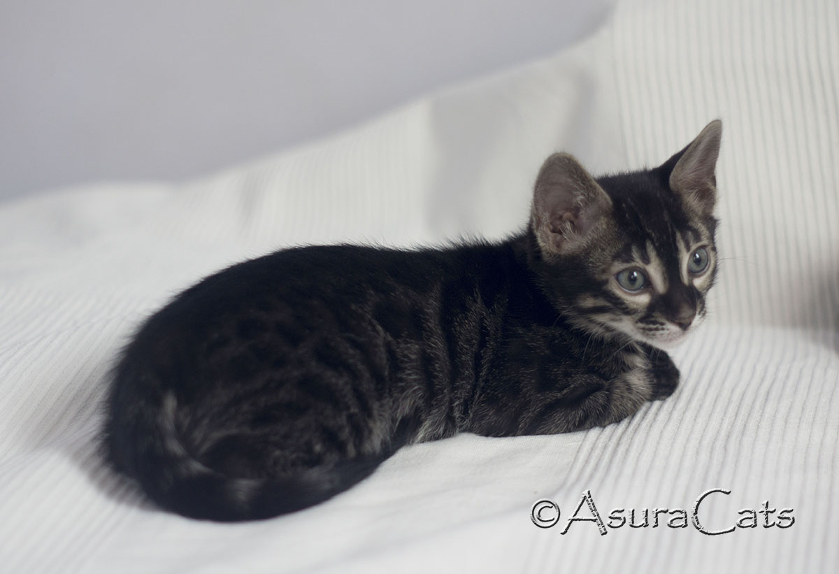 Brown rosetted charcoal Bengal kitten