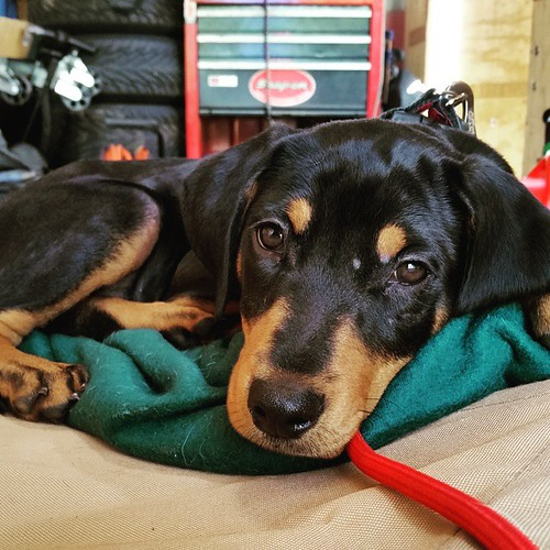 Track life of the #HooliganMotorsports mascot. #puppygram #dobiemix #instapuppy #inexlegends #uslegendscars #rescuedpuppiesofinstagram #adoptdontshop #dobermanmix