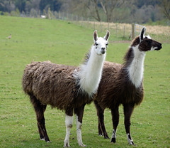 guanaco(0.0), alpaca(1.0), animal(1.0), llama(1.0), fauna(1.0), vicuã±a(1.0), camel-like mammal(1.0), pasture(1.0),