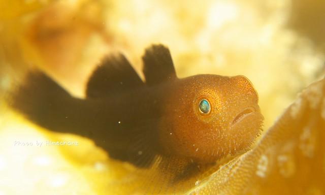 ダルマハゼ 幼魚その1