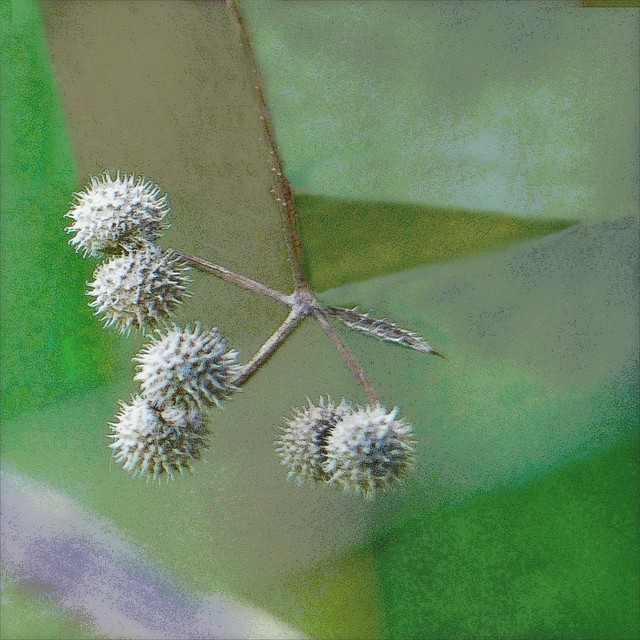 Cleavers .... gone to seed