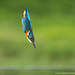 Kingfisher Bullet by Alastair Marsh Photography