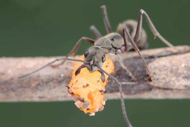 IMG_4401 Fingerprint pattern ant.