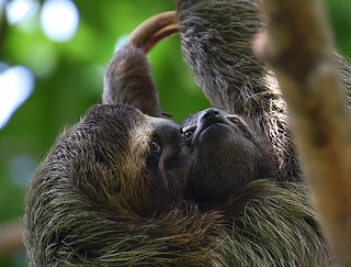 Closeness of Mother and Infant - Three-toed Sloths.