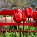 Red Bench and Tulips by ***Karen
