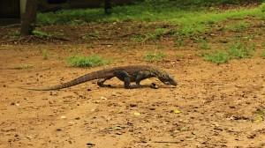 Baby Komodo Dragon on the move