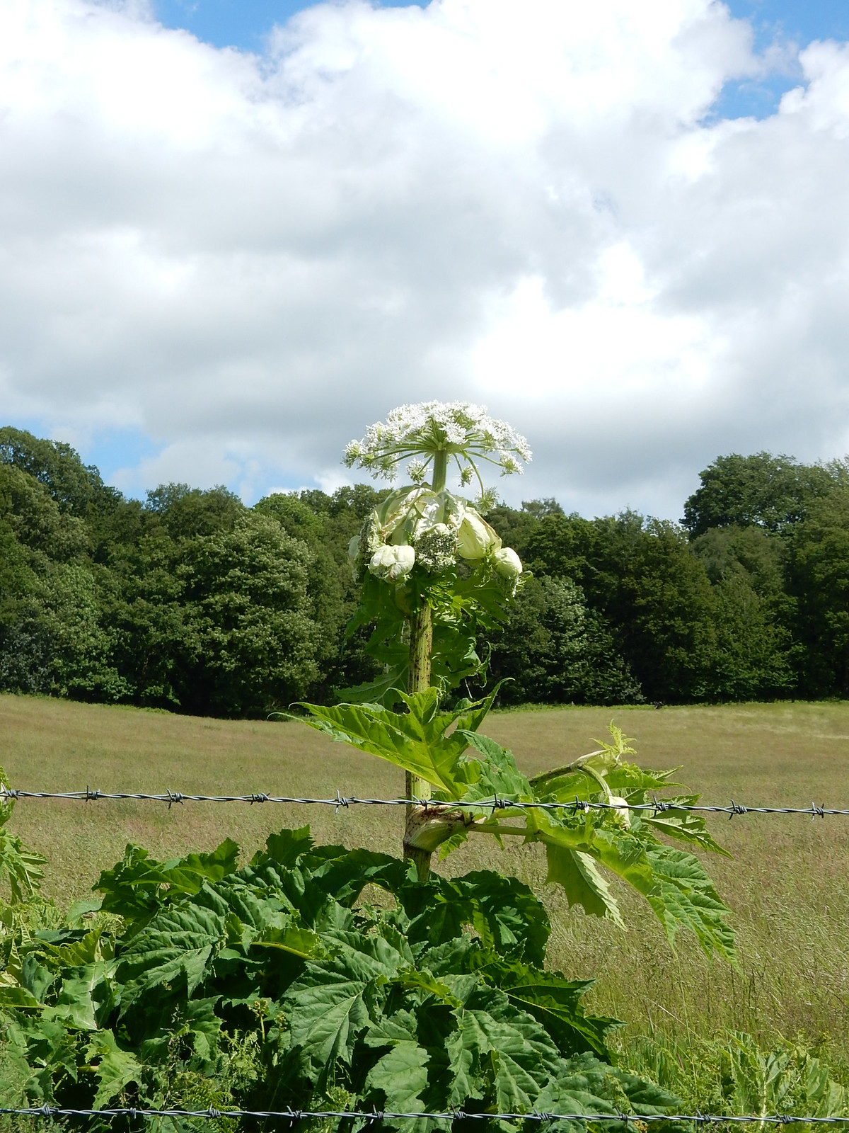 Run!....It's Giant Hogweed Milford to Godalming