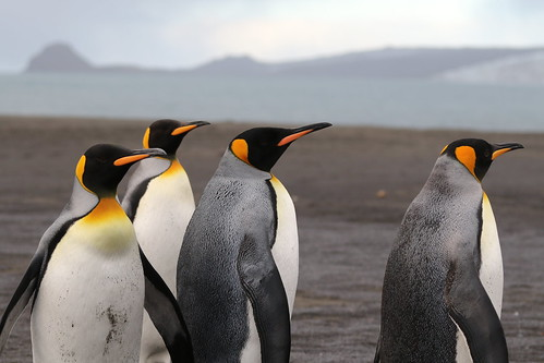 ocean nature birds outdoors penguins indianocean southernocean seabirds kingpenguin aptenodytespatagonicus heardisland corinthianbay heardislandexpedition