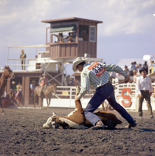 Cattle roping at the Calgary Stampede