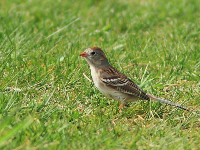 Field Sparrow 20150503