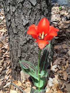 a single tulip next to a tree
