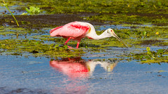 flamingo(0.0), wetland(1.0), animal(1.0), water bird(1.0), fauna(1.0), reflection(1.0), beak(1.0), spoonbill(1.0), ibis(1.0), bird(1.0), wildlife(1.0),