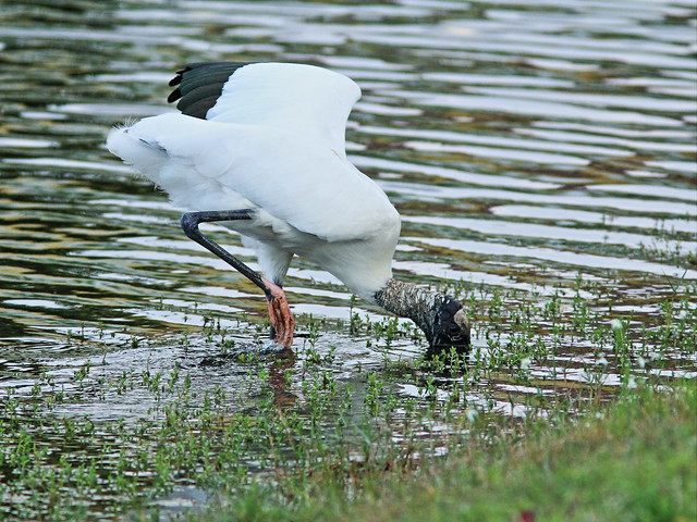 Wood Stork 2-20140225