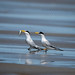 Least Tern by srimanthks