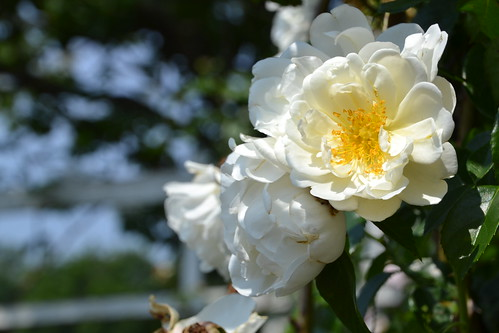 Climbing Rose 'City of York'