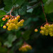 Viburnum Berries by Peeblespair
