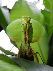 San Ignacio - Dangerous Predator