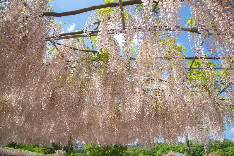 ashikaga_flowerpark-29