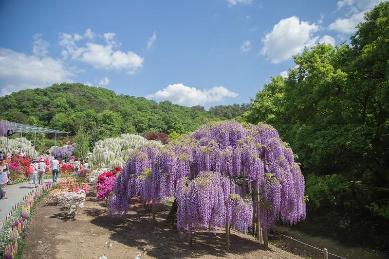 ashikaga_flowerpark-6