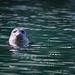 The Harbor Seal Hello