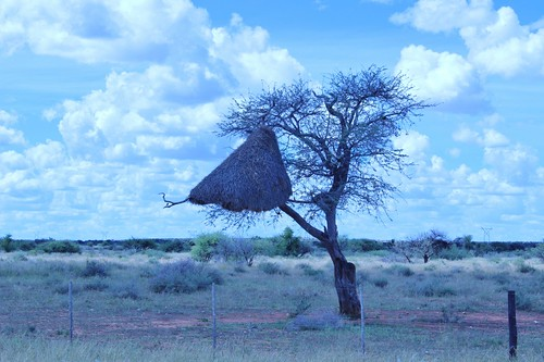 The coolest bird nests you've ever seen are in Namibia