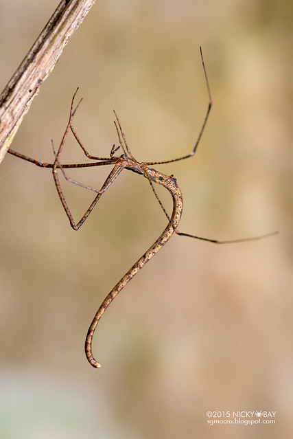 Twig-like comb-footed spider (Ariamnes sp.) - ESC_0045