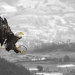 So, 31.05.15 - 11:57 - Águila Calva (Weisskopfseeadler)