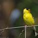 Chardonneret jaune mâle | Parc Michel-Chartrand | Longueuil