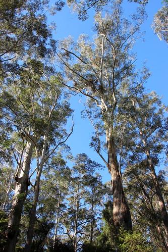 Blackbutt (Eucalyptus pilularis) 60 metres tall