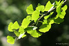 Project 366 - Day 178 - Ginkgo.