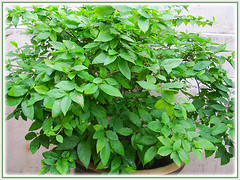 Our potted Thunbergia erecta (King's Mantle, Bush Clock Vine), currently not flowering, May 3 2015