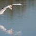Great Egret In Flight by Jasper's Human