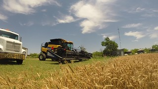 Our very first wheat of the 2015 harvest going in!!