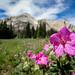 Meadow flowers, Montana (USA)