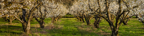 oregon us afternoon unitedstates fav20 rows bloom cherryblossoms fav30 cherryorchard fav10 moiser