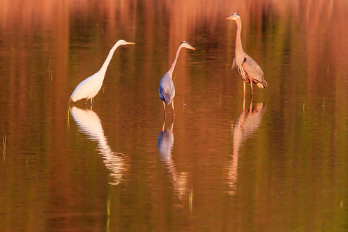 bird heron water sunrise action background wildlife egret bombayhook