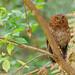Bare-shanked Screech-Owl in Costa Rica