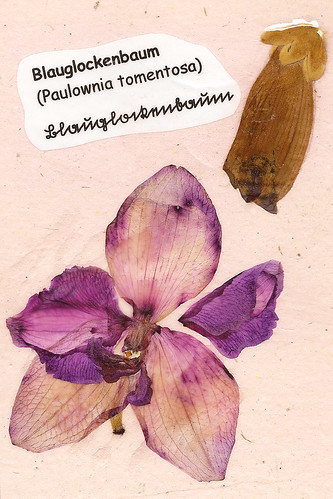 Herbarium Mannheim Pfalz Odenwald Blauglockenbaum Paulownia tomentosa