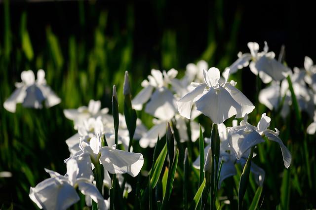 ハナショウブ Japanese iris