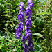 Small photo of Monkshood. Aconitum napellus