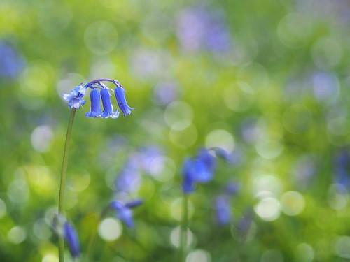 湖水地方 ブルーベル 花 自然 英国 イギリス