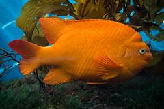 Big Orange Fish