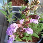 sage planting in deck: Cobweb Cottage by wrdnrd