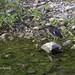 Green Heron / Martinete / Martin Pescador